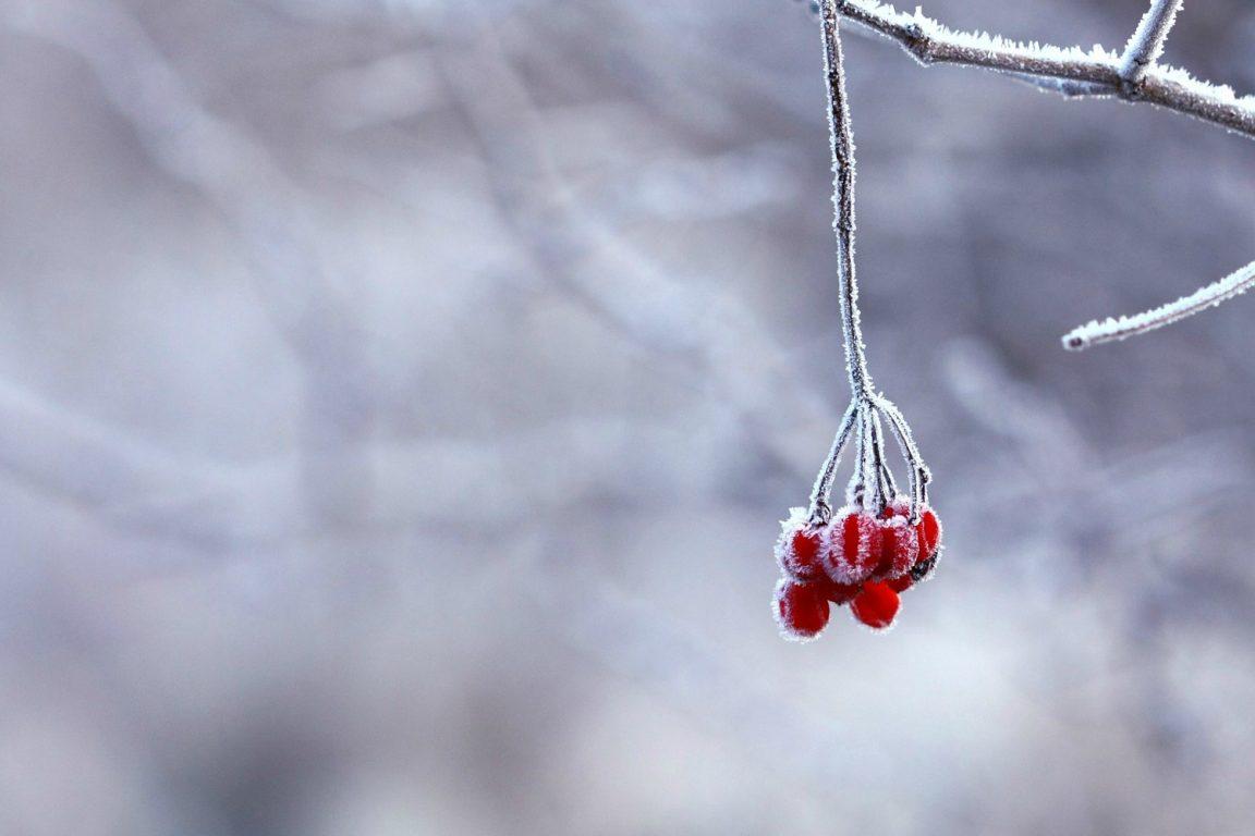 Rose Hips Winter