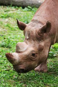 rhino calf baby